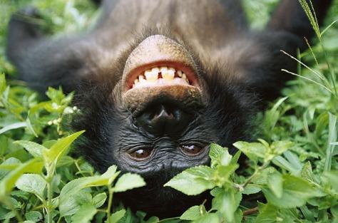 Bonobo Monkey Head-Shake Could Be Precursor to Human Behavior (Video)