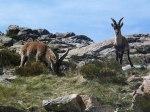 pyrenean ibex2