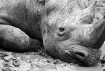 western-black-rhino2