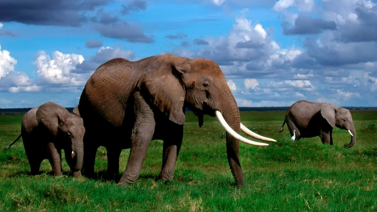 Awesome! US Bans ALL Trade In Elephant Ivory Within Its Borders