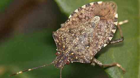 The brown marmorated stink bug (Photo: NPR)