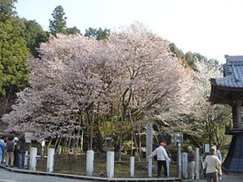 The Ganjoji Temple and its ancient cherry tree