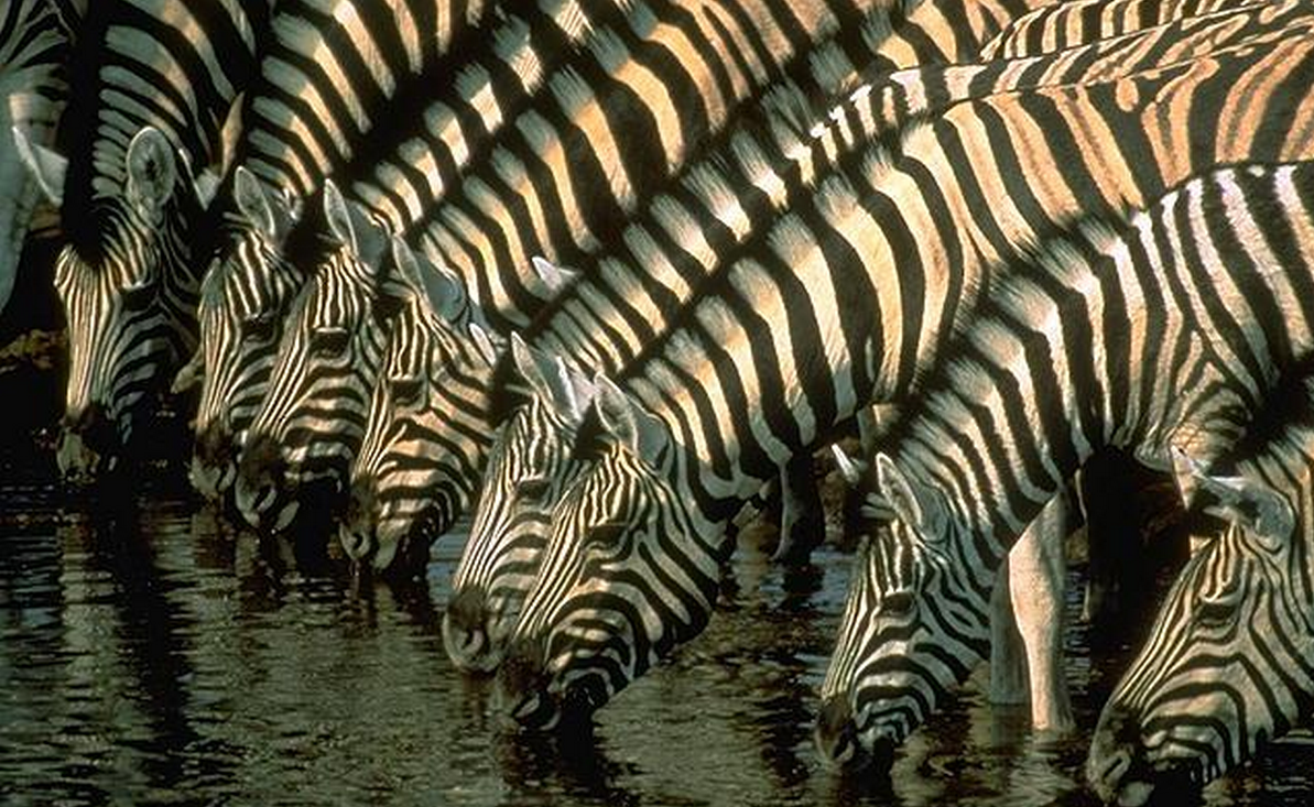 Zebra Without Stripes Scientists May Have Fi...