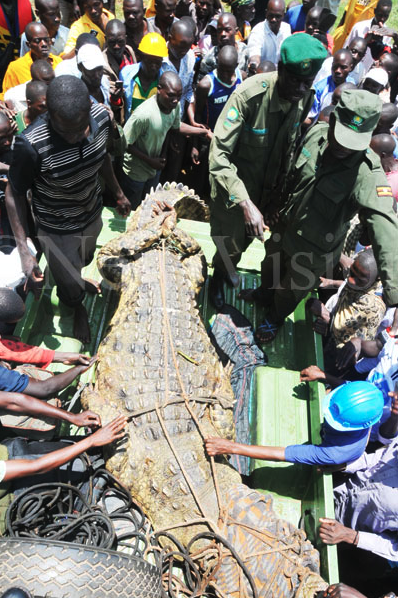 The croc being loaded onto a truck (Photo: Donald Kiirya)