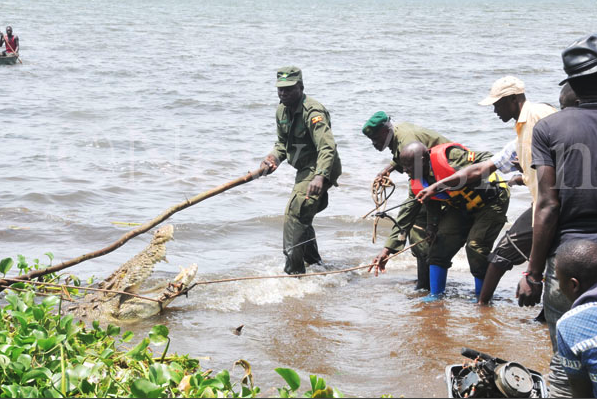 UWA workers extracting the croc from the trap (Photo: Donald Kiiyra)