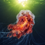 Scyphozoan jellyfish - Cyanea capillata