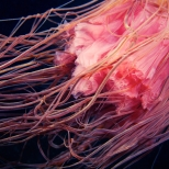 Scyphozoan jellyfish - Cyanea capillata tentacles