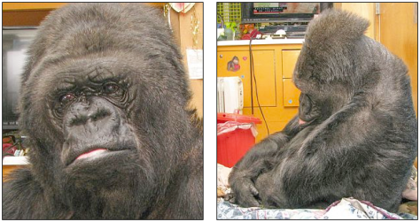 Koko was visibly upset by the news of Williams' passing. Click to enlarge (Courtesy of the Gorilla Foundation)
